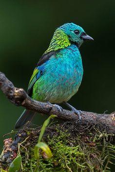 Green-headed tanager (Tangara seledon) by Arlei Bertani on 500px