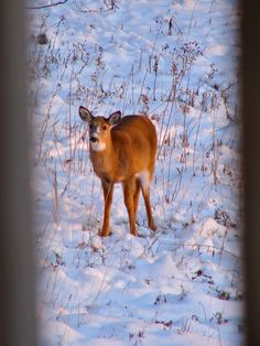 Virginia White-Tailed Deer (Odocoileus virginianus) [Photo taken by J.Lewis in north-central WV with a 6 MP digital camera.]