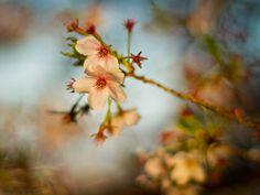 The Last Sakura | Flickr - Photo Sharing!
