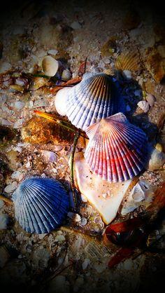 'Shells - Madeira Beach, FL'