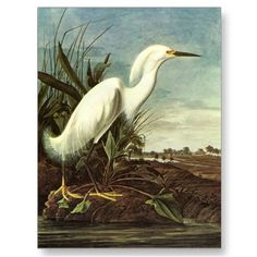 Snowy Egret, John James Audubon Postcards