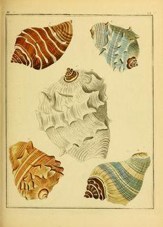 Bd. 3, Abt. 3B - Systematisches Conchylien-Cabinet / - Biodiversity Heritage Library