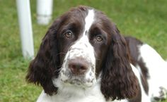 These important reminders should serve you well as awesome springer spaniel owners...