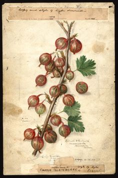 "Carrie Gooseberries (1909) by Amanda Almira Newton (1860-1943).   ""U.S. Department of Agriculture Pomological Watercolor Collection. Rare and Special Collections, National Agricultural Library, Beltsville, MD 20705"""