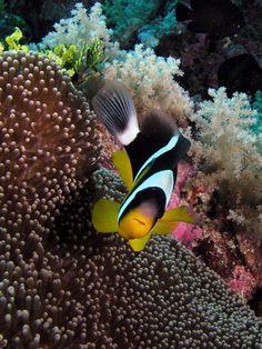 Orange-finned Clownfish / Indian Ocean Aldabra Atoll