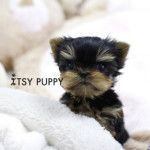 Browse the tiniest and healthiest teacup puppies for sale at Itsy Puppy | teacup maltese puppies for sale, teacup pomeranian puppies for sale, teacup poodle puppies for sale, teacup yorkie puppies for sale | Buy from a CA breeder with over 10 years experience
