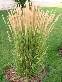 1000 images about ornamental grasses on pinterest for Quick growing ornamental grasses