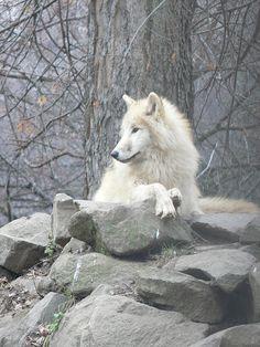 como un lobo contempla a la luna 88'