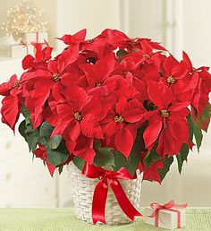 Send the official red Christmas flower - the poinsettia plant! Choose fresh and festive red or white Christmas poinsettias to complete your holiday décor. Poinsettia Plant, Christmas Poinsettia, Christmas Flowers, Christmas Decorations, Christmas Plants, Christmas Time, 800 Flowers, Fresh Flowers, Beautiful Flowers