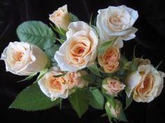 Peterkort Roses - Surprise (spray rose)