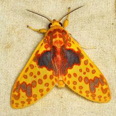 Tiger moth, Amaxia pulchra