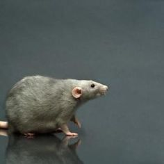 How to Breed Rats for Snake Food