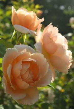 "Ambridge Rose"""