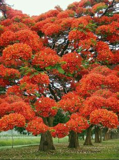 Just extraordinary! Poinciana Tree in flower Delonix Regia, Beautiful Landscapes, Beautiful Gardens, Beautiful Flowers, Unique Trees, Colorful Trees, Bonsai, Flame Tree, Nature Tree