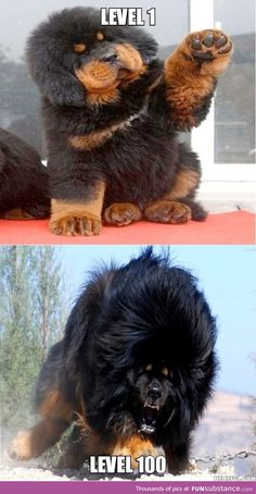 Majestic Tibetan Mastiff is part of Funny animal pictures - More memes, funny videos and pics on Funny Animal Memes, Funny Animal Pictures, Cute Funny Animals, Cute Baby Animals, Funny Dogs, Animals And Pets, Hilarious Quotes, Huge Dogs, Giant Dogs