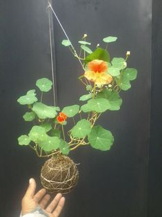 Amazing Shed Plans - DIY - Kokedama mariageinprogress. Plus Now You Can Build ANY Shed In A Weekend Even If You've Zero Woodworking Experience! Start building amazing sheds the easier way with a collection of shed plans! Dream Garden, Garden Art, Garden Plants, House Plants, Wood Shed Plans, Diy Shed Plans, Hanging Plants, Indoor Plants, String Garden
