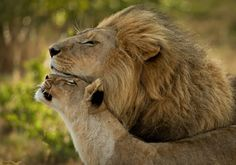 Lion and lioness <3