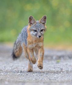 Grey Fox by Phoo Chan