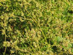 Achyropsis filifolia Amaranth Plant, Endangered Plants, Plant Species, Herbs, Herb, Medicinal Plants