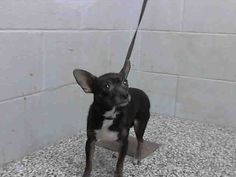 #A476533 Release date 12/12 I am a female, black and white Chihuahua - Smooth Coated mix. Shelter staff think I am about 1 year old. I have been at the shelter since Dec 05, 2014.   City of San Bernardino Animal Control-Shelter. https://www.facebook.com/photo.php?fbid=10204076382727425&set=pb.1160364024.-2207520000.1417905608.&type=3&theater