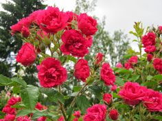 Rosa rugosa 'F. Roses, Garden, Plants, Garten, Pink, Rose, Lawn And Garden, Gardens, Plant