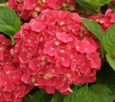 hydrangea macrophylla rosso