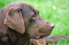 Chocolate Labrador Retriever SUNNY