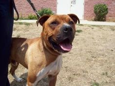 Bubba is an adoptable Boxer Dog in Lancaster, OH. Here is Bubba, a handsome and dashing young Boxer mixed with maybe some Mastiff, going by the size of his head! His body is all boxer, though, and his...