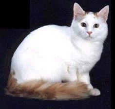 Turkish Van - Click image to find more Animals Pinterest pins