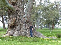 River gum Eucalyptus
