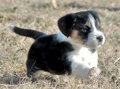 PBGV puppy... my doggie!