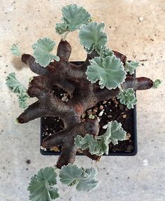 Pelargonium mirabile succulent caudiciform exotic bonsai plant