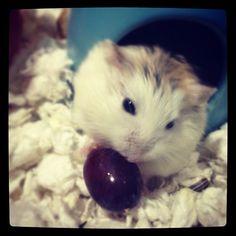 #eating a #grape #yummy#dwarfhamster#hamster#pets#cute#cuteanimals http://dwarfhamsterblog.com