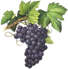 Grapes-grape-bunch-w-leaves-concord-black-purple-red1.png (648×660)