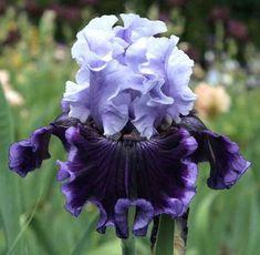 Iris 'Wicked Good'