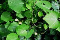 Adenia - L'adenia est une plante toxique africaine qui connut en son temps un usage médicinale, mais elle occasionnait également des lésions au foie se qui fit qu'elle perdit de son attrait, bien que dangereuse pour l'homme, il est dit que les autochtones cuisait ses feuilles pour les co... http://www.complements-alimentaires.co/wp-content/uploads/2015/03/adenia_-adenia_cissampeloides.jpg - Par Nathalie sur Compléments alimentaires  #Lesplantesdelafamill