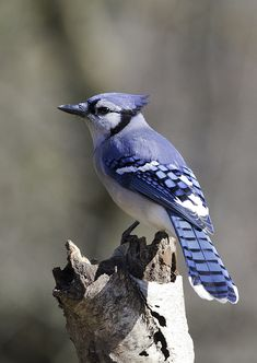 blue jay portrait | by Steve Courson