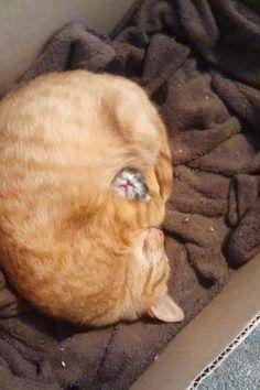 子ネコが顔だけ出して「すやすや」眠っている → そこは母猫の「モフモフ」の中でしたw : 猫の動画 ねこわん!