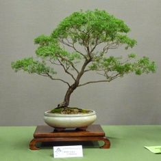 Bonsai & Pottery: Post 150 Australian Native Bonsai Exhibition