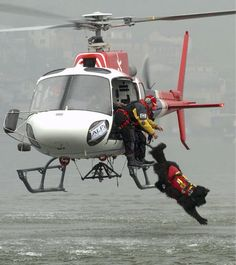 Newfies--Canine lifeguard springs from helicopter to rescue swimmer