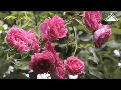 Cum se tund tufele de trandafiri? Ingrijire trandafiri - Ghid video Leroy Merlin Romania - YouTube Perfect Garden, Flowers, Flower Garden, Rose