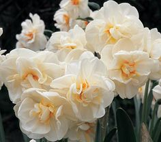 """Narcissus - Sir Winston Churchill Common Name: Double Daffodil Hardiness Zone: 5-8 S / 5-9 W Height: 15""""+ Fragrance: Yes Deer Resistant: Yes Exposure: Full or Part Sun Blooms In: April-May Spacing: 5-6"""" Ships as: Bulb"""