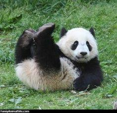 おもしろかわいいパンダ写真集【癒し】 - NAVER まとめ