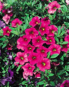Million Bells® Cherry Pink - Calibrachoa hybrid Tropical Landscaping, Landscaping Plants, Garden Plants, Million Bells, Arizona Gardening, Outside Plants, Plant Zones, Pink Plant, Ground Cover Plants