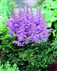 Astilbe - Heart and Soul ~ awesomeness!!