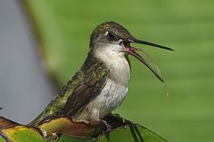 https://flic.kr/p/acM1xY | Open Wide Stick Out Your Tongue and Say Ahhhhh_RGB0904t2 | Ruby Throated Hummingbird sitting in a Banana tree showing lots of tongue.