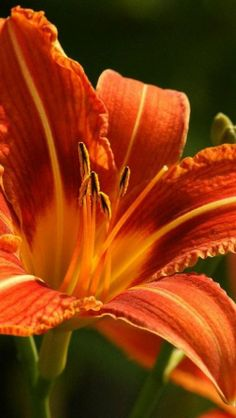 Orange Lily @ Pam look my tiger lily!