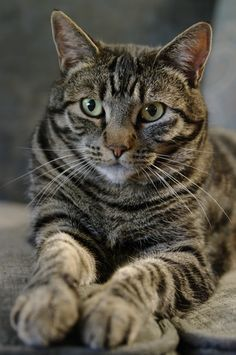 Perchik Cats Bri Cats British Shorthair Ny 25 British Golden Cat Golden Ticked Cat Golden Shaded Cat Beautifulca Tabby Cat Gorgeous Cats Beautiful Cats