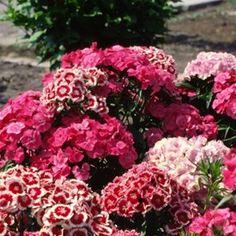 Borstnejlika | Blomsterlandet.se Floral Wreath, Garden, Flowers, Plants, Red, Dreams, Floral Crown, Garten, Lawn And Garden