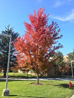Autumn Blaze Maple Acer x freemanii 'Jeffersred' Zone 4